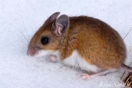 white-footed-mouse-gloucester-ma-copyright-kim-smith
