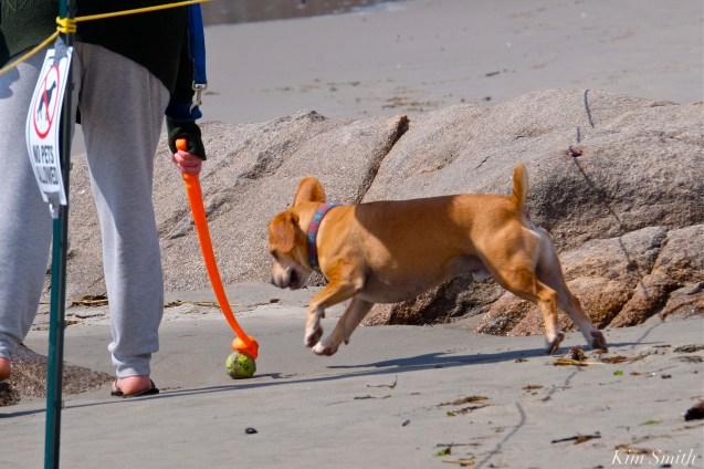 06. Dog Disturbance GHB Piping Plover Nesting 4-28-18copyright Kim Smith