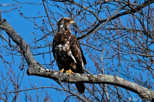 American Bald Eagle Juvenile Gloucester Massachusetts copyright Kim Smith - 08