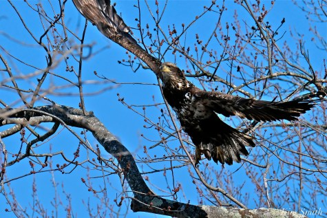 American Bald Eagle Juvenile Gloucester Massachusetts copyright Kim Smith - 11