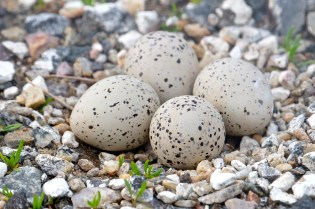 Piping Plover Nest Four Eggs Good Harbor Beach Gloucester MA Fox, GTimes copyright Kim Smith