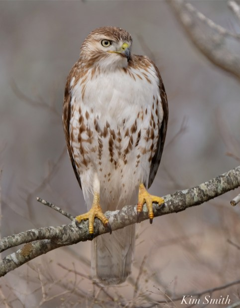 Red-tailed Hawk juvenile one year old -5 copyright Kim Smith