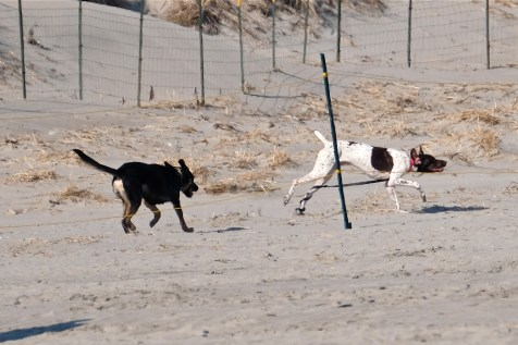Dogs in Piping Plover Nesting Area Good Harbor Beach Gloucester -2 copyright Kim Smith