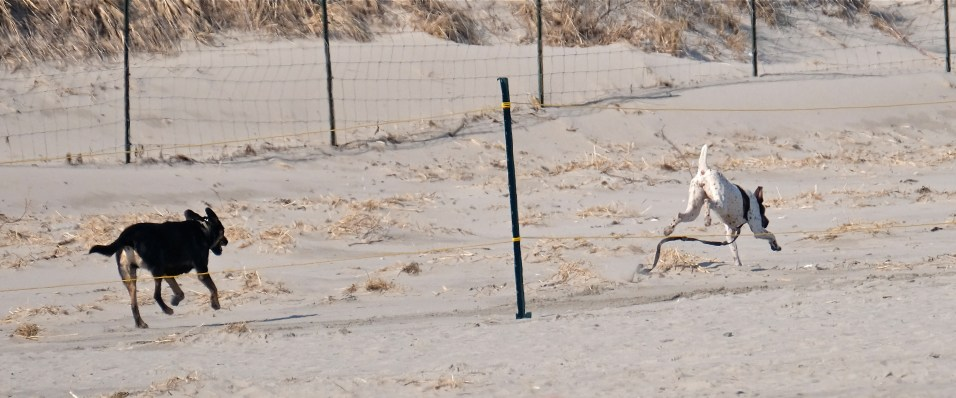 Dogs in Piping Plover Nesting Area Good Harbor Beach Gloucester -3 copyright Kim Smith