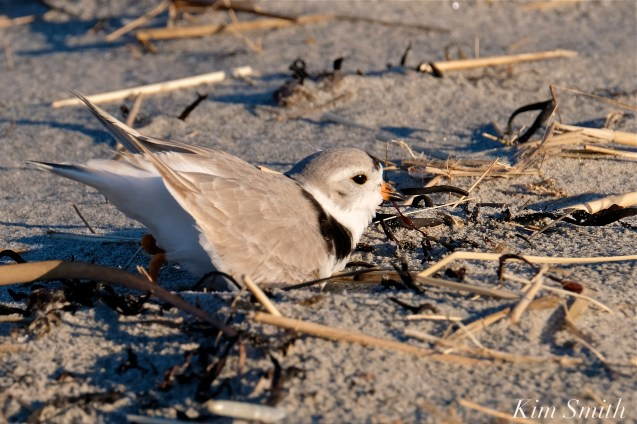 Piping Plover Courtship Good Harbor Beach copyright Kim Smith - 09
