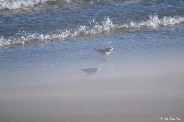Piping Plover Mated Pair Stormy Weather Good Harbor Gloucester copyright Kim Smith