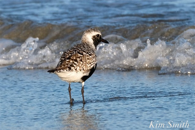 Black-bellied Plover GHB Gloucester MA copyright Kim Smith - 12