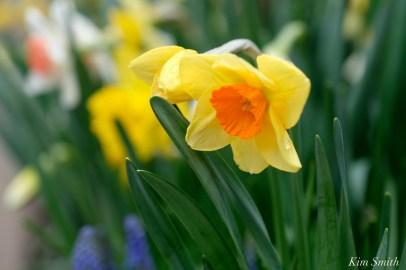Daffodils Kendall Hotel Cambridge Massachusetts copyright Kim Smith - 01