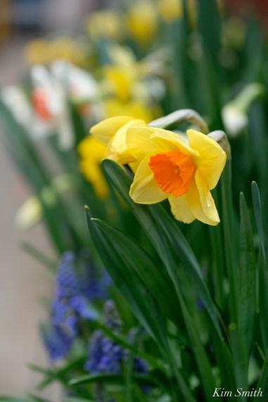 Daffodils Kendall Hotel Cambridge Massachusetts copyright Kim Smith - 02