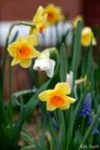Daffodils Kendall Hotel Cambridge Massachusetts copyright Kim Smith - 13