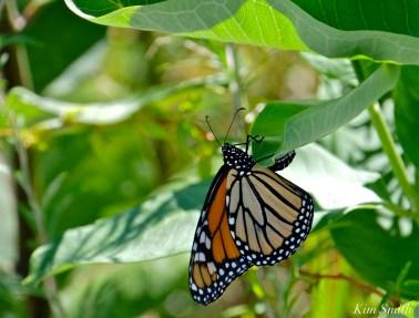 female-monarch-depositing-egg-common-milkweed-good-harbor-beach-dune-copyright-kim-smith