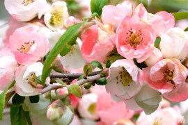 Japanese Flowering Quince Chaenomoles speciosa Toy-nishiki copyright Kim Smith