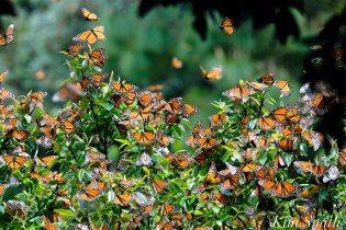 Monarch Butterflies Cerro Pelon Mexico -2 copyright Kim Smith