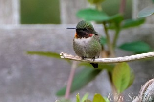 Ruby-throated Hummingbird Male Gloucester MA -3 copyright Kim Smith