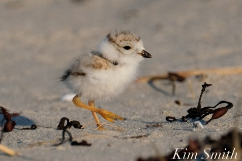 Piping Plover chick 10 days old Gloucester MA copyright Kim Smith - 17