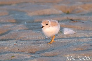 Piping Plover Chicks 22 days old GHB copyright Kim Smith - 14
