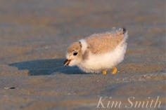 Piping Plover Chicks 22 days old GHB copyright Kim Smith - 15