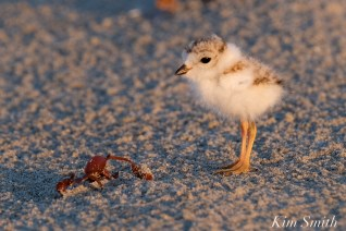 Piping Plover chicks 7 days old Gloucester MA copyright Kim Smith - 09 copy