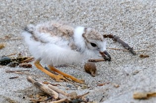 Piping Plover Chicks Two Weeks Old Gloucester MA copyright Kim Smith - 03
