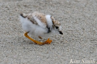 Piping Plover Chicks Two Weeks Old Gloucester MA copyright Kim Smith - 06 copy