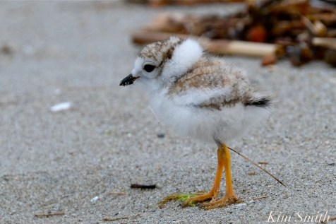 Piping Plover Chicks Two Weeks Old Gloucester MA copyright Kim Smith - 11 copy