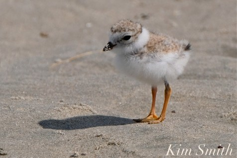 Piping Plover Chicks Two Weeks Old Gloucester MA copyright Kim Smith - 18 copy