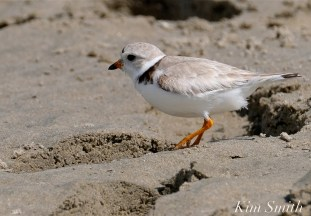 Piping Plover Female GHB Gloucester MA copyright Kim Smith - 20 copy