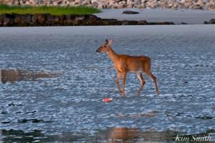 Deer Doe Good Harbor Beach copyright Kim Smith - 04