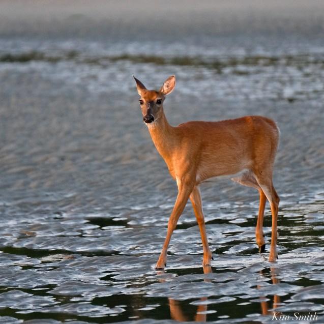 Deer Doe Good Harbor Beach copyright Kim Smith - 07