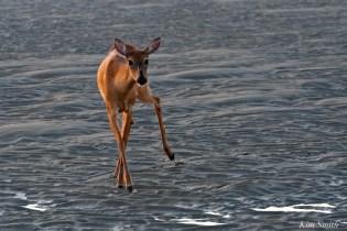 Deer Doe Good Harbor Beach copyright Kim Smith - 10