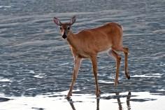 Deer Doe Good Harbor Beach copyright Kim Smith - 12