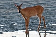 Deer Doe Good Harbor Beach copyright Kim Smith - 13