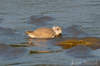 Piping Plover Fledglings 36 days old copyright Kim Smith - 20
