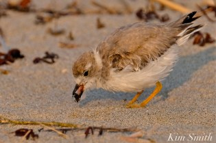 Semipalmated Plover Chick Fledgling Good Harbor Beach Massachusetts copyright Kim Smith - 16