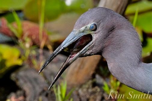 Little Blue Heron Eating Fish Gloucester Massachusetts copyright Kim Smith - 16