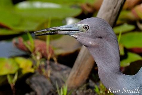 Little Blue Heron Swallowing Fish Gloucester Massachusetts copyright Kim Smith - 17