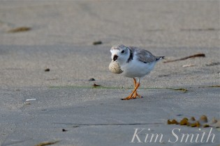 Piping Plover Chicks Hatching copyright Kim Smith - 09