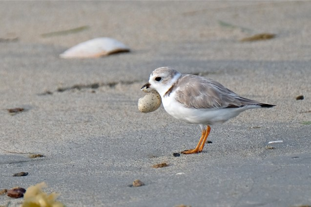 Piping Plover Chicks Hatching copyright Kim Smith - 10