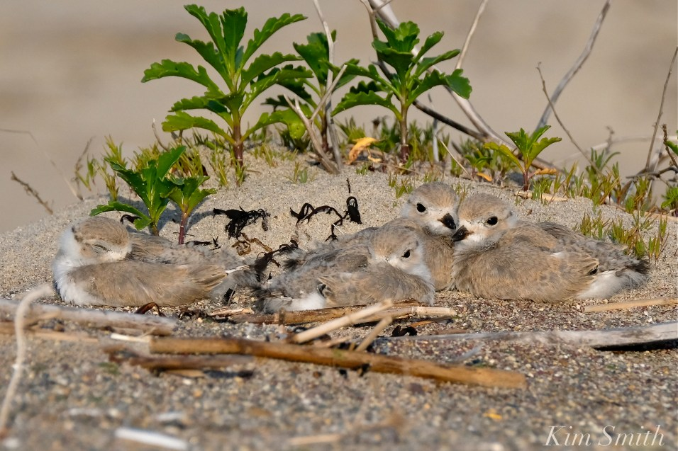 Piping Plover Four Chicks copyright Kim Smith jpg