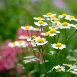 Urban Pollinator Garden Mary Prentiss Inn Cambridge copyright Kim Smith - 07