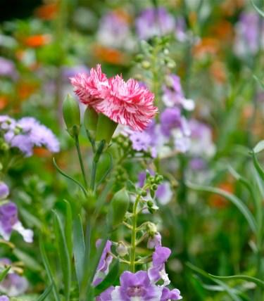 Urban Pollinator Garden Mary Prentiss Inn Cambridge copyright Kim Smith - 08