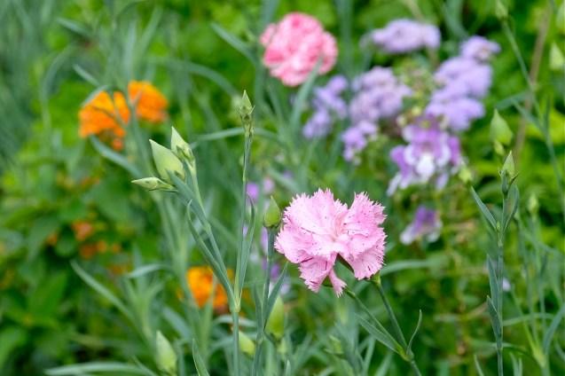 Urban Pollinator Garden Mary Prentiss Inn Cambridge copyright Kim Smith - 13