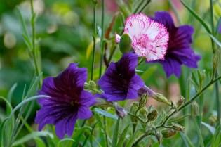 Urban Pollinator Garden Mary Prentiss Inn Cambridge copyright Kim Smith - 15