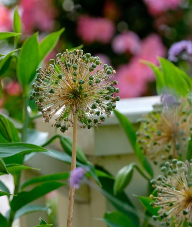 Urban Pollinator Garden Mary Prentiss Inn Cambridge copyright Kim Smith - 20
