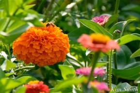 Urban Pollinator Garden Mary Prentiss Inn Cambridge copyright Kim Smith - 27