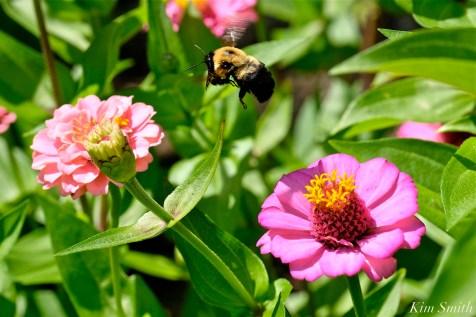 Urban Pollinator Garden Mary Prentiss Inn Cambridge copyright Kim Smith - 36