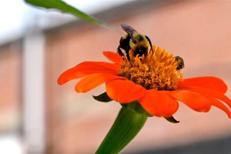Urban Pollinator Garden Mary Prentiss Inn Cambridge copyright Kim Smith - 48