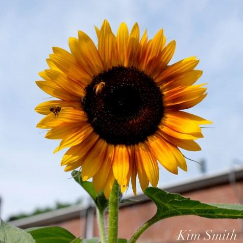 Urban Pollinator Garden Mary Prentiss Inn Cambridge copyright Kim Smith - 49
