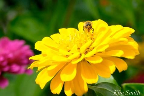 Urban Pollinator Garden Mary Prentiss Inn Cambridge copyright Kim Smith - 59