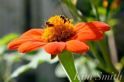 Urban Pollinator Garden Mary Prentiss Inn Cambridge copyright Kim Smith - 74